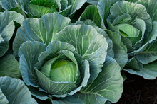 Fresh Nature Cabbage Or Brassica Oleracea In Harvesting Organic In Farm With Blur Background For Copy Space For Text.