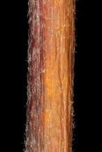 Large-Leaved Lime (Tilia Platyphyllos). Wintering Twig Detail Closeup