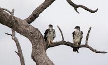 African Hawk Eagles