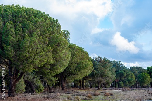 Fototapety, obrazy: Wooded pine forests of Castilla y Leon