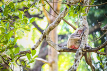 Single Common Hairy Grey Monkey Resting On Large Tropical Tree In Open Aviary