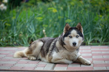 Portrait Of A Siberian Husky Female Lying On The Ground On A Summer Day. A Domestic Dog Lies On The Sand In The Garden On A Sunny Day.