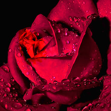 Closeup Shot Of Water Droplets On A Red Rose