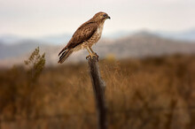 Red-tailed Hawk (Buteo Jamaicensis) On Fencepost;  Near Marathon, Texas