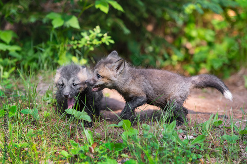 Fototapeta premium Red Fox (Vulpes vulpes) Kits Interact With Each Other in Front of Den Summer