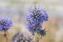 """Big Yellow And Black Striped Bee Is Flying Around A Big Bright Purple Spheric Flower Also Known As """"echinops Ritro"""" And Gathering A Pollen."""
