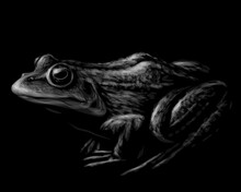 Frog. Black And White Graphic, Vector Portrait Of A Frog On A Black Background. Digital Vector Graphics.