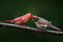 A Pair Of Cardinal Birds On The Branch, Kissing Each Other