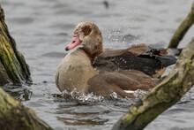 Egyptian Goose Splashing About