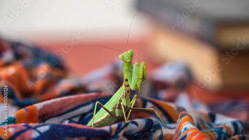 Canvas Print large green mantis looking for food