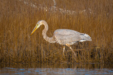 Great Blue Heron Searching For Food In The Wetland With Tall Grasses
