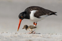 A Oyster Catcher Mother Is Teaching/feeding Her Baby On A Beach