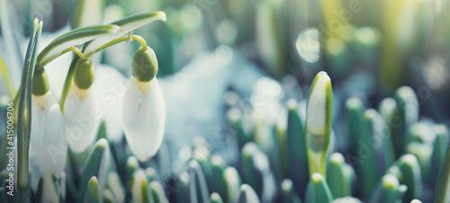 White snowdrops flowers in sunny garden . Easter background. Poster Mural XXL