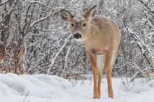 Curious Young White Tail Deer After Winter Snow Fall In City Park