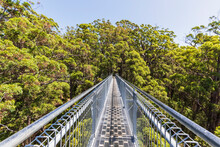 Treetop Walkway Stretching Between Red Tingle Trees (Eucalyptus Jacksonii) Growing In Walpole-Nornalup National Park