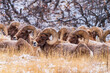 canvas print picture - Big horn sheep herd in the Garden of the Gods Park in Colorado Springs