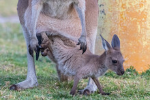 Australia, Western Australia, Windy Harbour, Red Kangaroo (Macropus Rufus) Doe Letting Joey Out Of Pouch On Campsite