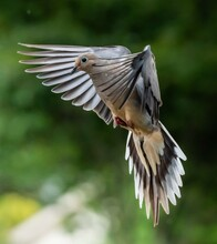 The Mourning Dove Is A Spiritual Messenger Of Peace, Love, And Faith.