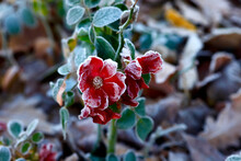 Red Frosted Flowers In Winter
