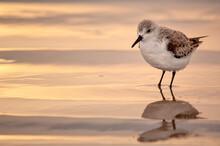 Sanderling (Calidris Alba) Feeding On The Beach At Sunrise;  Mustand Island;  Texas