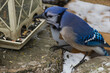 Blue Jay eating at a feeder