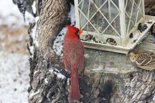 Male American Cardinal, Redbird At The Feeder
