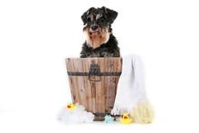 Miniature Schnauzer Dog Washing Bath Isolated On White