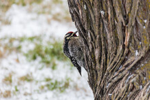 Ladder-backed Woodpecker Sitting On Tree Trunk