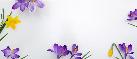 Purple crocuses and daffodil isolated on white wood Background.