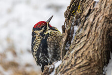 Ladder-backed Woodpecker Sitting On Tree Trunk