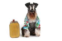 Miniature Schnauzer Dog Tourist Travel Isolated On White