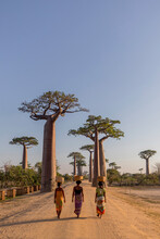 Back View Of Unrecognizable Native Females With Baskets On Heads Walking Along Sandy Road With Large Baobab Trees Growing On Madagascar