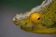 Amazing Chameleon Sitting On Mossy Twig On Madagascar