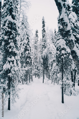 Snowy trail leading through coniferous trees growing in woods on cloudy day in winter Fotobehang