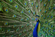 Close-up Of A Colourful Male Peacock With Spread Tail, Jaipur, India