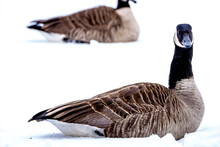 Canadian Goose Resting In The Fresh Snow