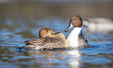 """A Male And Female Northern Pintail Duck """" Anas Acuta """" Bond In A Mating Ritual"""