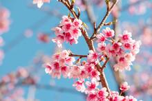 Pink Sakura Flower, Cherry Blossom, Himalayan Cherry Blossom Closeup Background In Thailand.