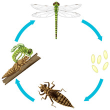 Life Cycle Of Dragon Fly On White Background