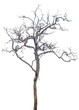 canvas print picture - isolated death tree on white background with clipping path