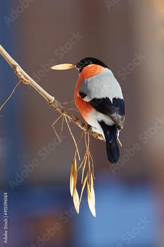 Fototapeta a bullfinch  sitting on a branch