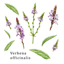 Verbena Officinalis Herb Element Organic Set. Hand Drawn Vervain Plant Collection. Purple Natural Organic Flowers With Green Leaves. Aromatic Medicinal Verbena Herb Set On White Background.