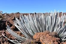 High Altitude Plant Grown Near Haleakala Crater  Maui, Hawaii
