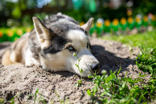 Funny Portrait Of A Siberian Husky Female Lying On The Ground On A Summer Day. A Domestic Dog Lies On The Sand In The Garden On A Sunny Day.