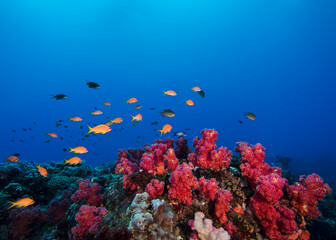 Fototapeta na wymiar Colorful coral reef scene of pink soft corals with some small goldie fish swimming over the reef