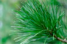 Coniferous Cedar Needles Close Up. Blurred Background