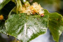Ladybug Creeps On A Leaf Of A Linden Tree