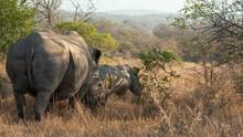 White Rhino Mother Following Her Calf