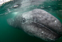 California Gray Whale Calf (Eschrichtius Robustus), Underwater, San Ignacio Lagoon, Baja California Sur