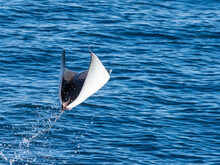 Adult Munk's Pygmy Devil Ray (Mobula Munkiana), Leaping Into The Air, Isla San Jose, Baja California Sur